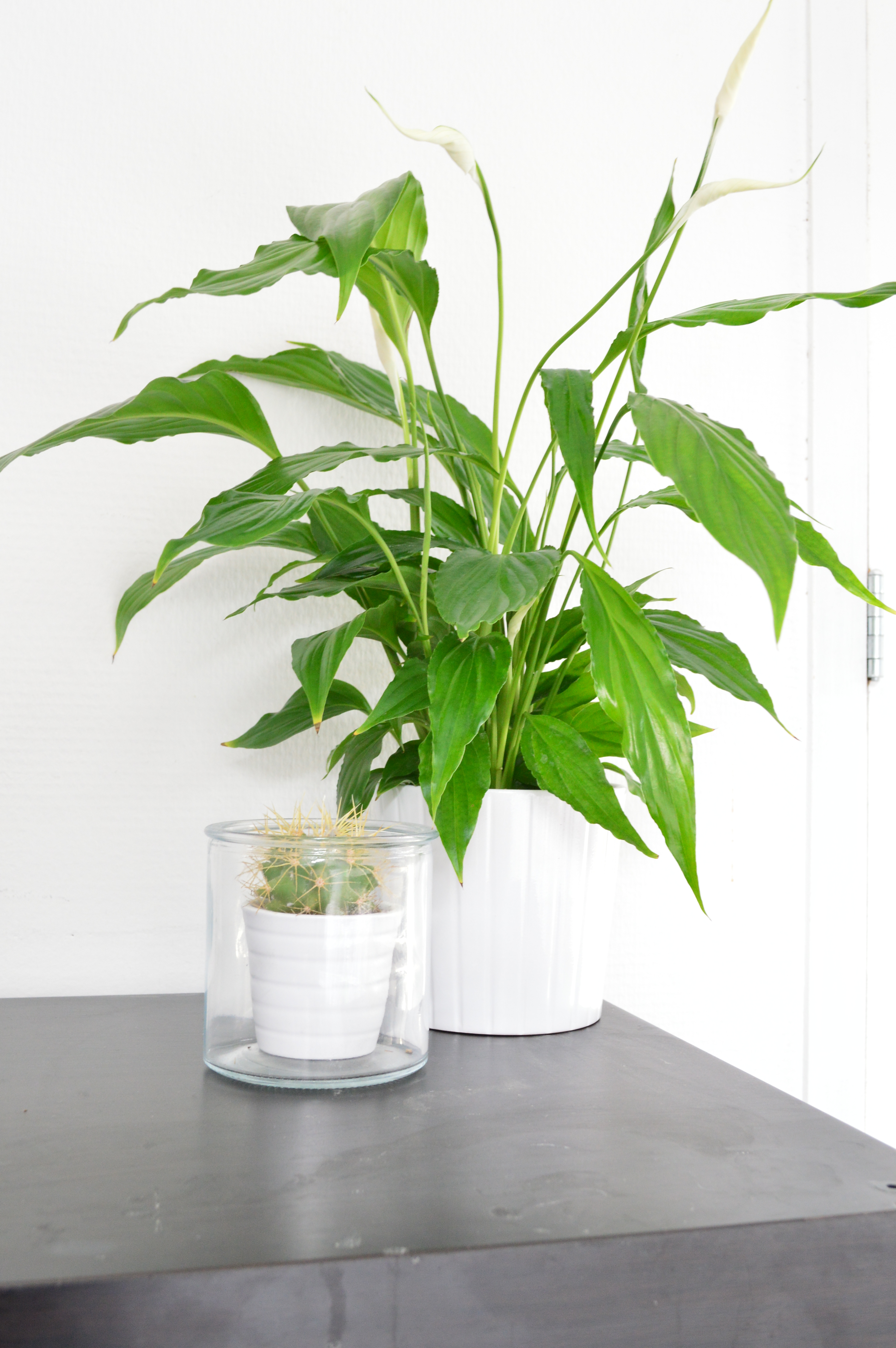 New: spathiphyllum in kardemumma – double perception